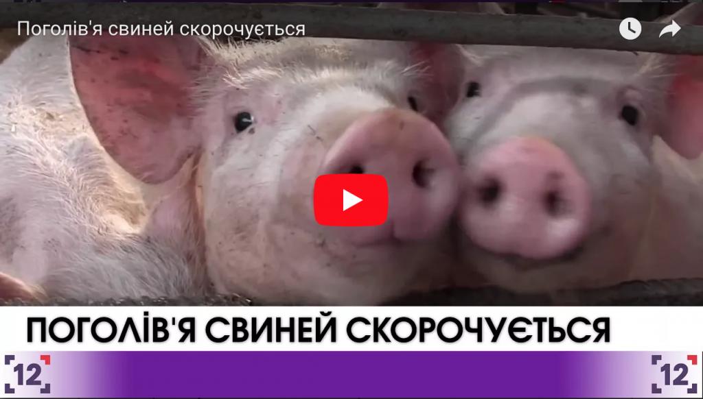 Поголів'я свиней скорочується