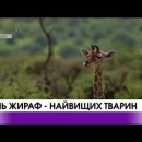 В світі відзначають день жирафів