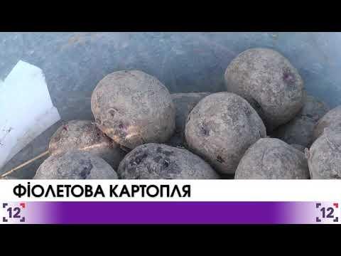 На Волині вирощують фіолетову картоплю