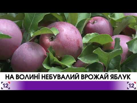 На Волині – небувалий врожай яблук