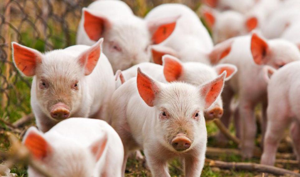 На Волині знайшли майже 30 тушок свиней