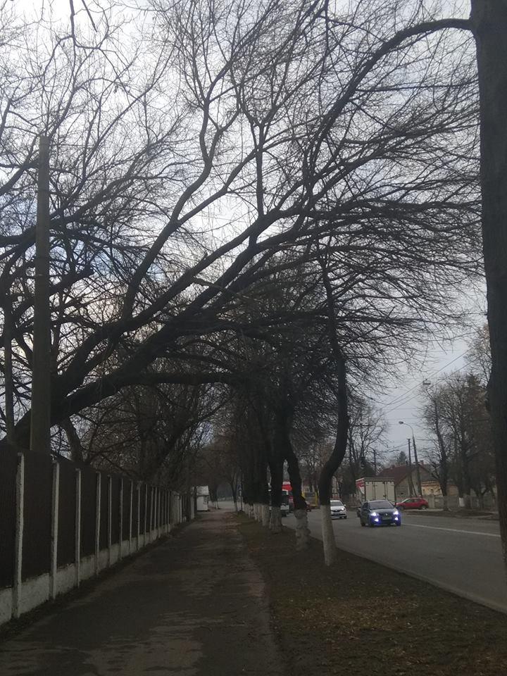 У Луцьку просять зрізати дерево, яке загрожує життю перехожих. ФОТО