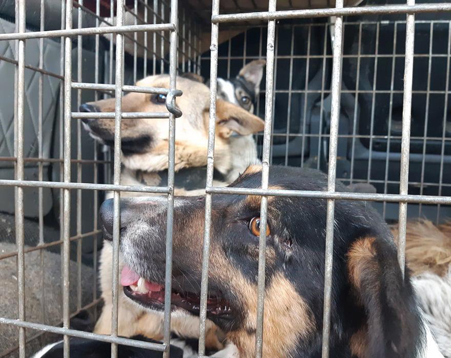 Стерилізують і знову випустять: у Рожищі забрали 12 безпритульних собак
