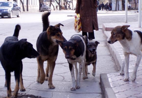 Лучани скаржаться на агресивних безпритульних псів