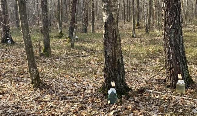 Як лісівники на Волині збирають березовий сік. ФОТО