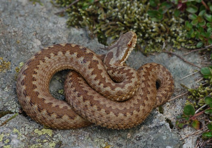 На Волині змія покусала жінку