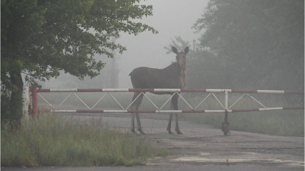 Без людей: Чорнобиль кишить дикими тваринами. ФОТО