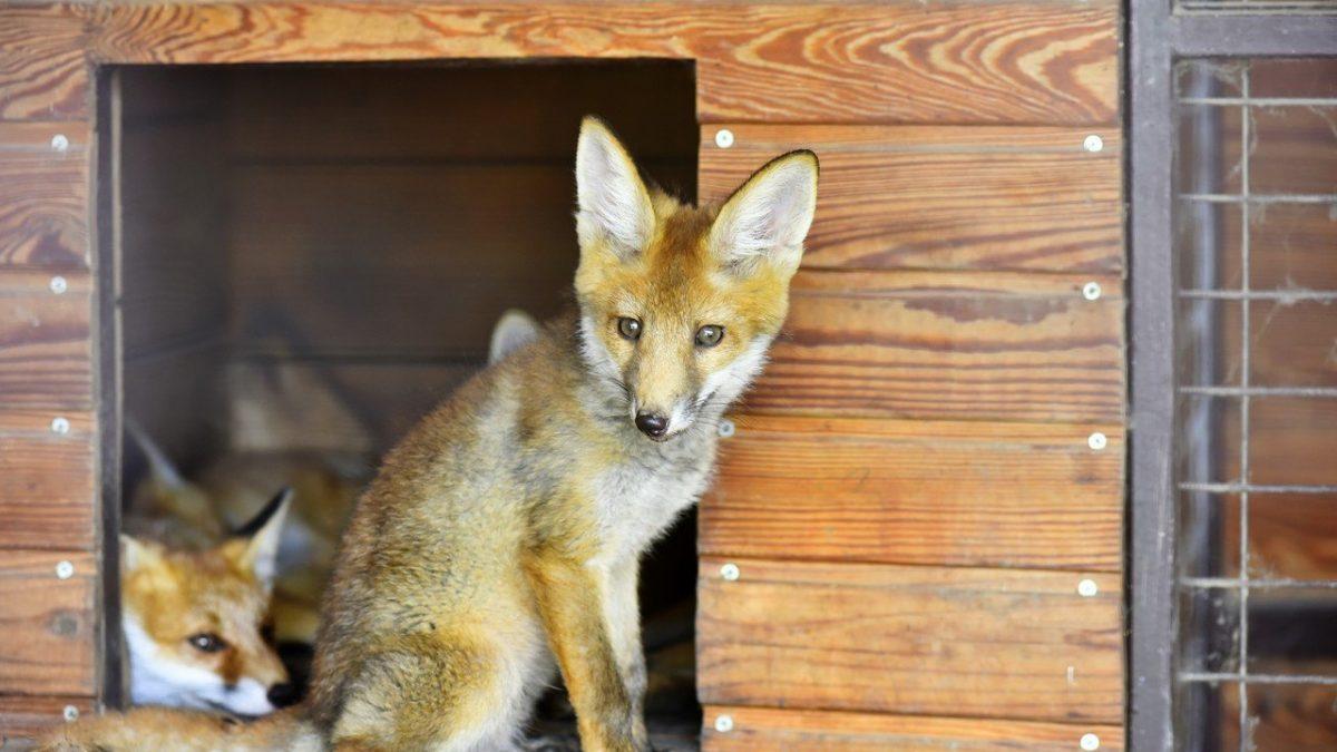 Луцький зоопарк просить скинутися на вольєри для лисиць