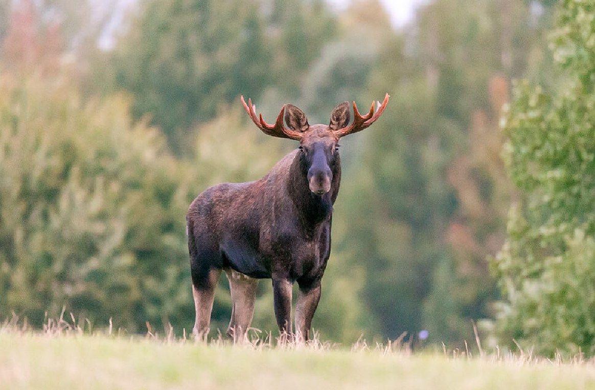 На Волині водій збив лося, залишив його в канаві і втік. ФОТО