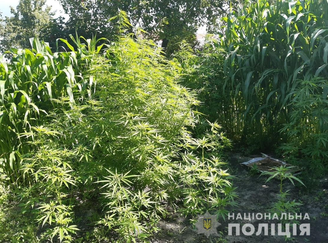 У Ковелі двоє чоловіків вирощували коноплі в себе на дворі. ФОТО