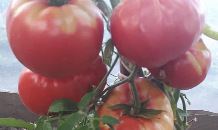 """Ректор луцького """"політеху"""" Петро Савчук похвалився урожаєм помідорів. ФОТО"""
