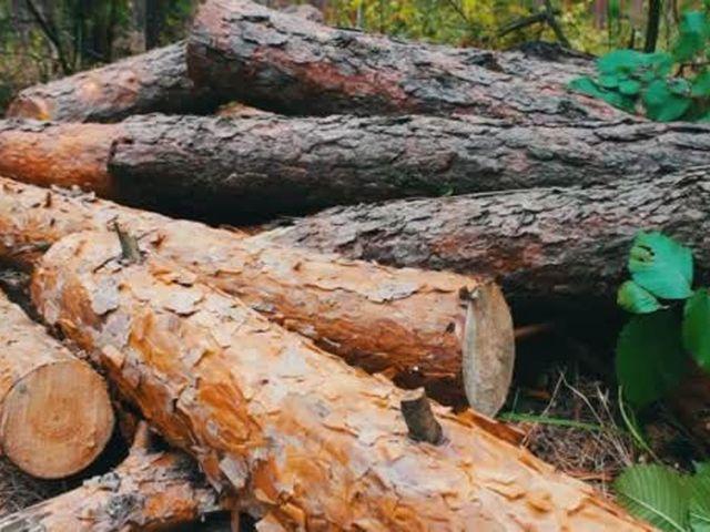Волинянин незаконно зрубав сосен на 215 тисяч гривень
