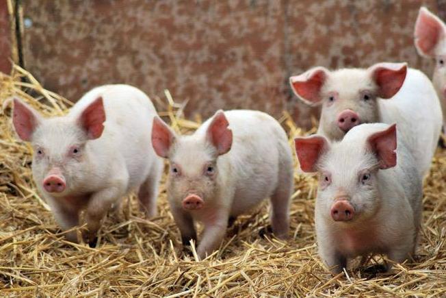 Під Луцьком викинули туші свиней. ФОТО 18+