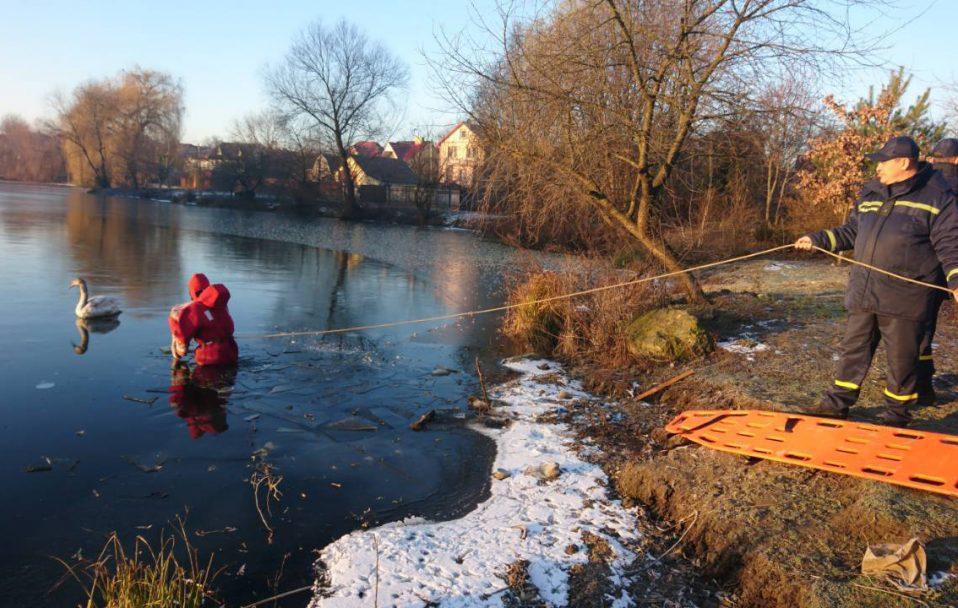 У Луцьку ДСНСники врятували з крижаної води двох лебедів. ФОТО