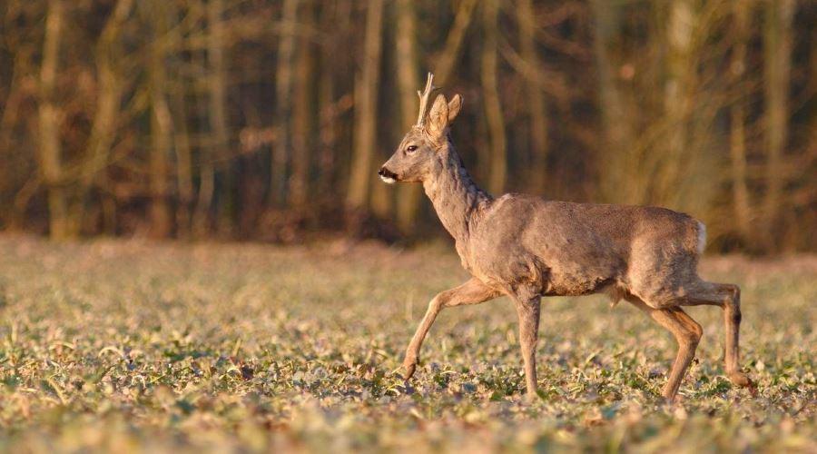 На Волині браконьєри застрелили косулю. ФОТО