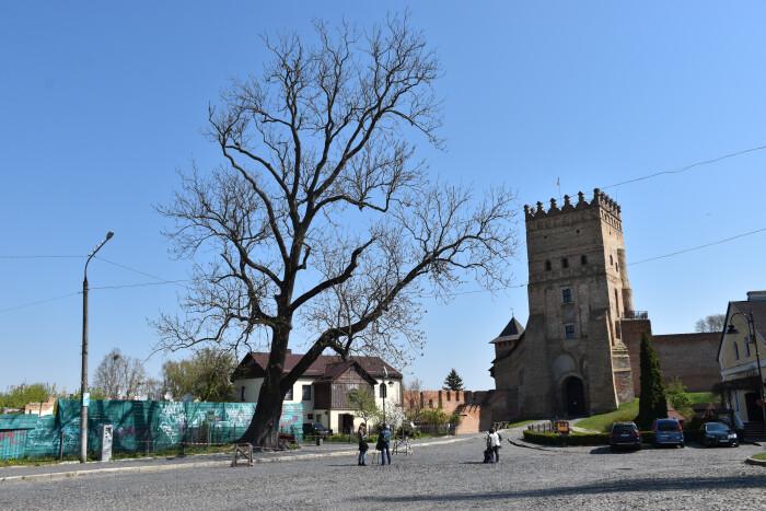 Лесин ясен біля Луцького замку потребує порятунку