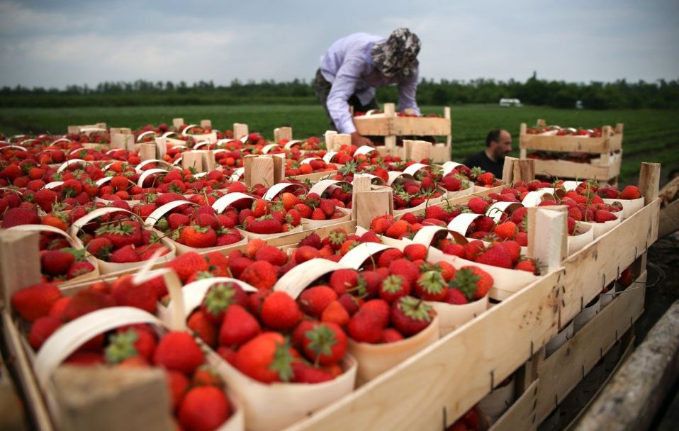 Скільки українці заробляють на сезонних роботах у Європі?