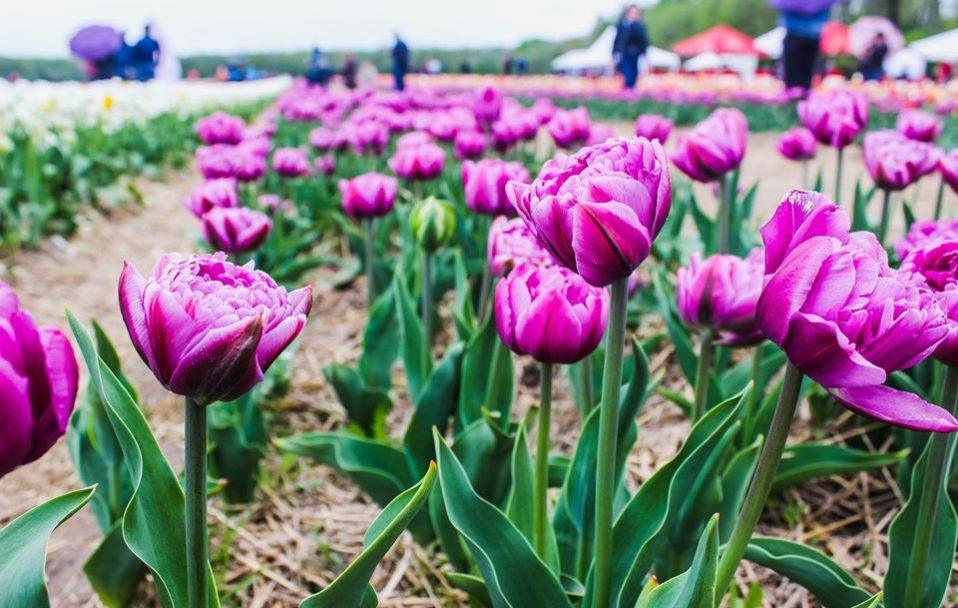 На Волині таки проведуть фестиваль тюльпанів