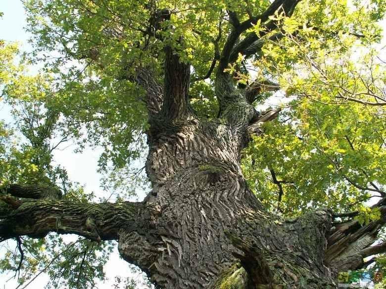 У лісі на Волині знайшли 400-річний дуб. ФОТО