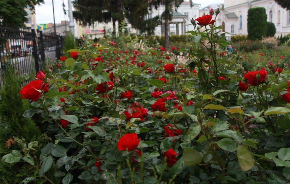 Біля собору у центрі Луцька зацвіла тисяча троянд. ФОТО
