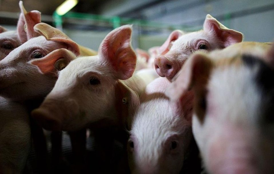 На Волині – масова загибель свиней: жодної з трьох хвороб, на які були підозри, не виявили