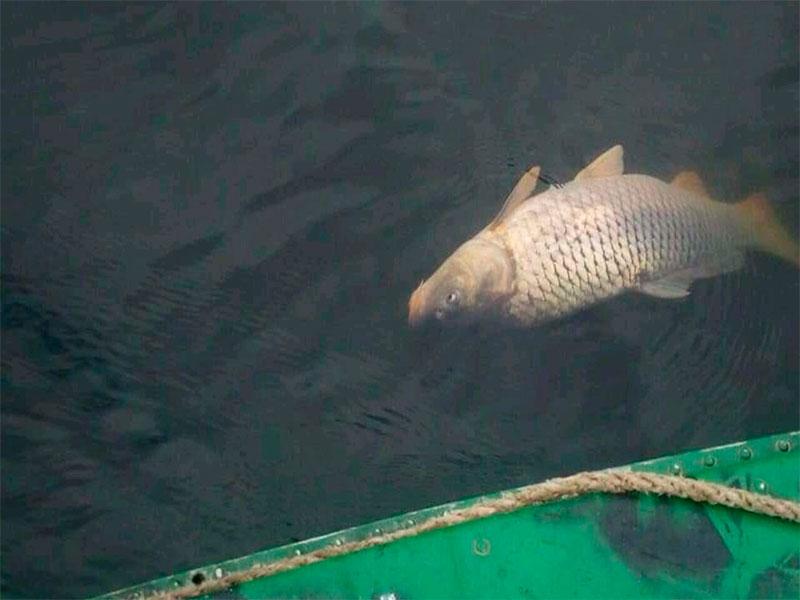 У селі під Луцьком – мор риби