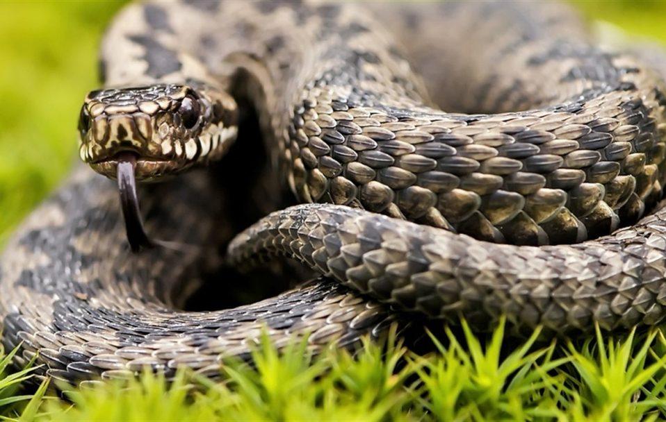 На Волині чоловіка вкусила змія