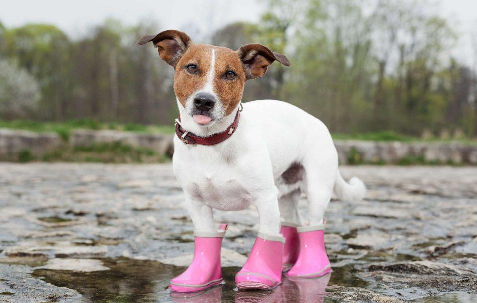 Взувайте улюбленців: луцька ветлікарка пояснила, навіщо черевички для тварин. ВІДЕО