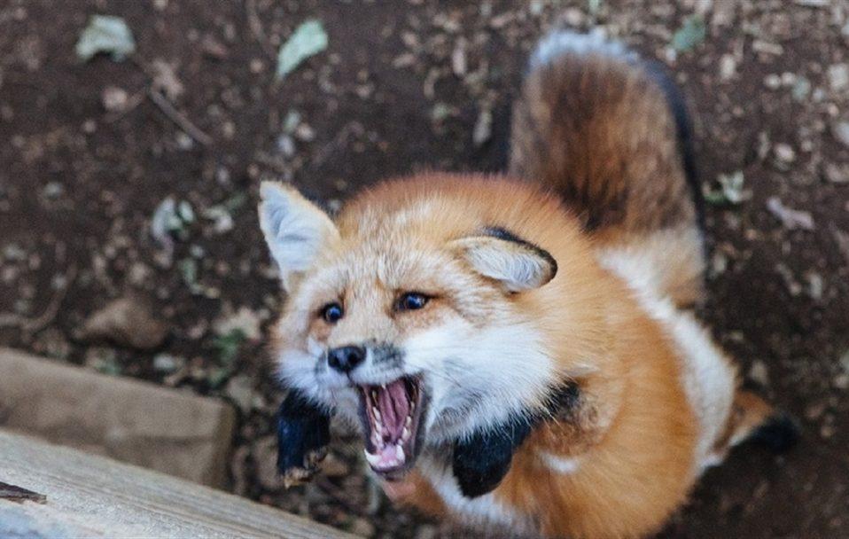 На Волині чоловіка покусала скажена лисиця