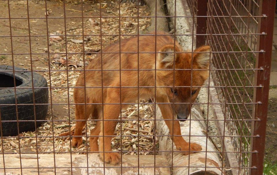 У Луцькому зоопарку – поповнення. Тепер тут живуть червоні вовки
