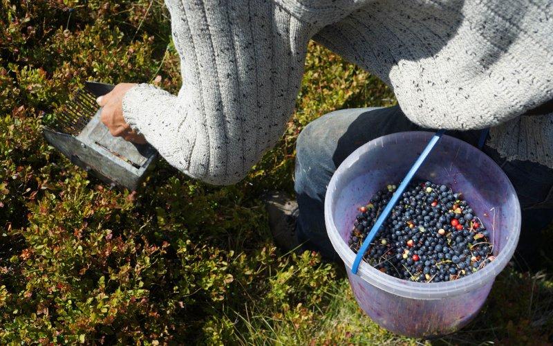 У любешівських лісах ловитимуть людей, які збирають чорниці гребінками