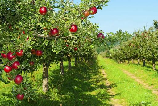 Як волинський атовець робить бізнес на фруктових деревах. ВІДЕО