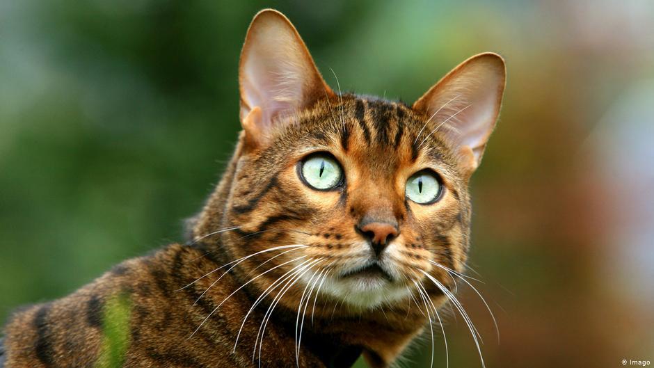 Пухнаста екзотика: у Луцьку влаштували Національну виставку кішок. ВІДЕО