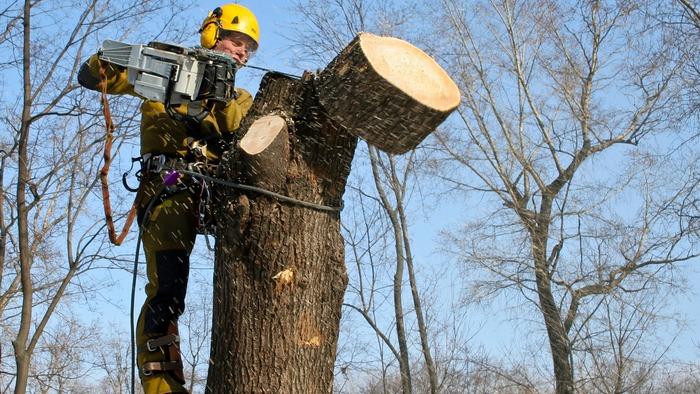 У Луцьку зросла плата за зрізані дерева. ВІДЕО